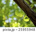 葉 葉っぱ イチョウの写真 25955948