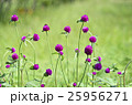 センニチコウ 花 千日紅の写真 25956271