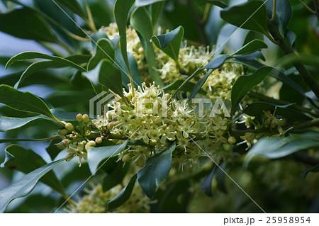 黐の木 モチノキ 花言葉は「時の流れ」 25958954