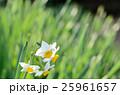 ニホンズイセン 25961657