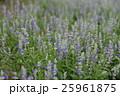 サルビア・ファリナセア サルビア ブルーサルビアの写真 25961875