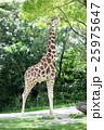 キリン アミメキリン 草食動物の写真 25975647
