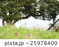 花 コスモス 花畑の写真 25978400