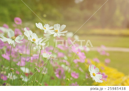 Pink and white cosmos in the garden. 25985438