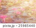 花 桃色 水連の写真 25985440