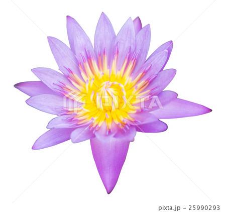 Isolated violet lotusの写真素材 [25990293] - PIXTA