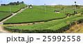 茶畑イメージ2 25992558
