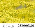 黄色の花 25999389