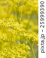 花 黄色 植物の写真 25999390