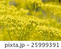 花 黄色 植物の写真 25999391