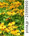 花 黄色 植物の写真 25999400