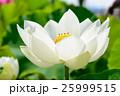 蓮の花 25999515