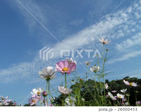 青空に桃色のコスモス 26000453