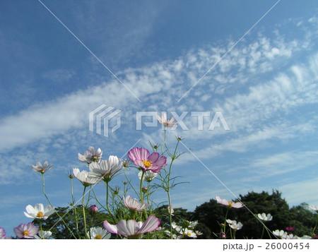 青空に桃色のコスモス 26000454