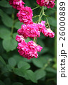 バラの花 26000889