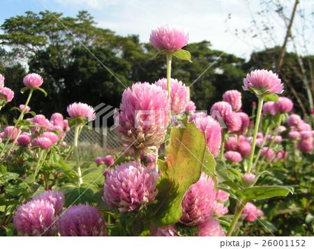 夏から秋にかけて咲くセンニチコウのピンクの花 26001152