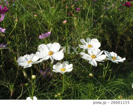 秋の花白色のコスモス 26001155