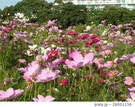 秋の花桃色色のコスモス 26001156