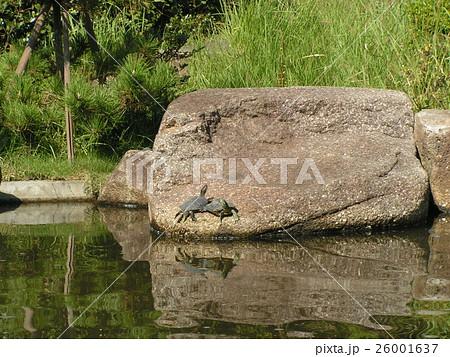 稲毛海浜公園の池の巨岩に亀さん 26001637