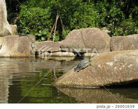 稲毛海浜公園の池の巨岩に亀さん 26001639