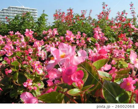 秋の花桃色のベゴニア・センパフローレンス 26002068