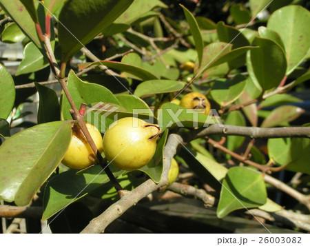 黄色く色付いたトロピカルフルーツヒメグァバの実 26003082