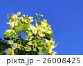 青空に薄黄色のカッシア 小葉のセンナ 26008425