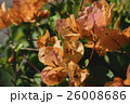 鮮やかなオレンジ色のブーゲンビレア 26008686