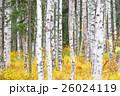 白樺と黄葉 26024119