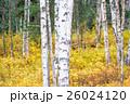 白樺と黄葉 26024120