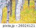 白樺と黄葉 26024121