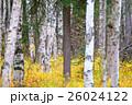 白樺と黄葉 26024122