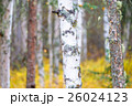 白樺と黄葉 26024123