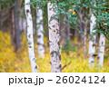 白樺と黄葉 26024124