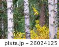 白樺と黄葉 26024125