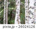 白樺と黄葉 26024126