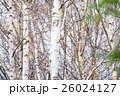 白樺と黄葉 26024127