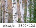 白樺と黄葉 26024128