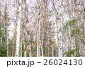 白樺と黄葉 26024130