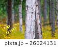 白樺と黄葉 26024131