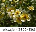 身近な花々、ウインターコスモス 26024598
