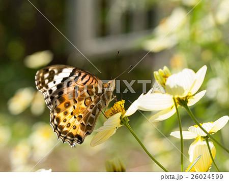 コスモスの花に来た美しい蝶 26024599