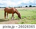 草を食べる草原につながれた馬 26026365