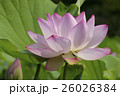 蓮の花 26026384