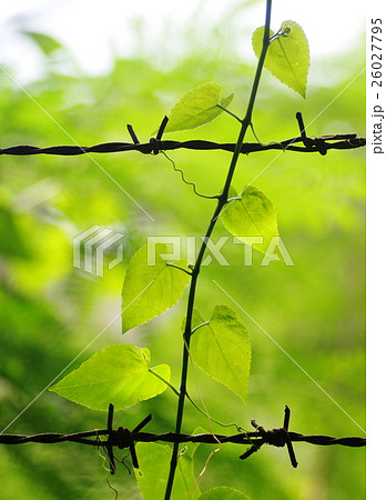 selective focus on green leaves of free wild plant 26027795