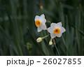 日本水仙 26027855