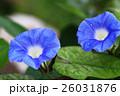 朝顔 花 植物の写真 26031876