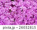 芝桜 花 植物の写真 26032815