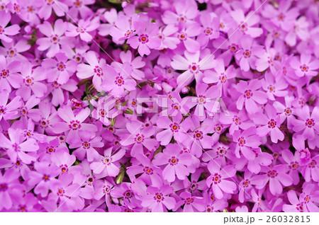 芝桜祭り 26032815
