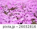 芝桜 花 植物の写真 26032816